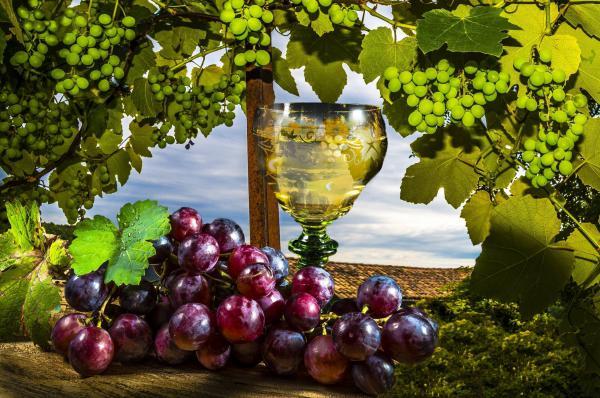 Виноград саперави северный красный купить по цене 39 руб. в Москве на PromPortal.Su (ID#21572118)